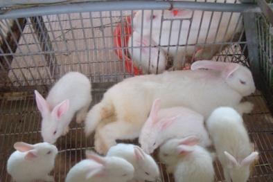 Kỹ thuật nuôi và chăm sóc thỏ sinh sản kiếm tiền tỷ mỗi năm
