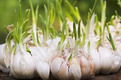 Kỹ thuật trồng cây tỏi trên sân thượng cho củ chắc mẩy siêu dễ