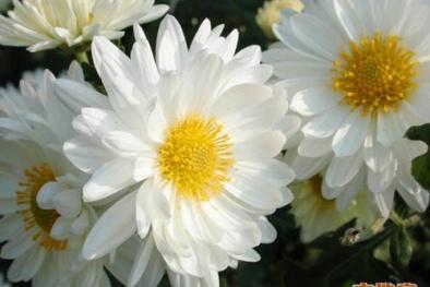 Đi tảo mộ trong tết thanh minh, bạn nên chọn hoa gì để không phạm phải cấm kỵ?