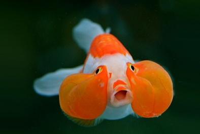 Kỹ thuật nuôi và chăm sóc cá vàng mắt bong bóng đẹp sửng sốt