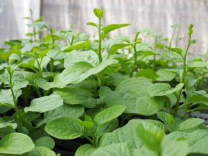 Kỹ thuật trồng cây rau Mồng tơi xanh mơn mởn khắp vườn nhà