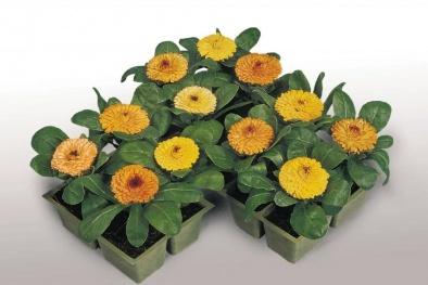 Kỹ thuật trồng cây hoa Hướng dương lùn trong chậu đẹp ngất ngây