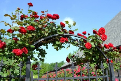 Kỹ thuật trồng cây hoa Hồng leo cổ Hải Phòng ngào ngạt hương thơm