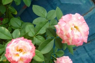 Kỹ thuật trồng cây và chăm sóc hoa Hồng đổi màu độc và lạ ngắm đã mắt