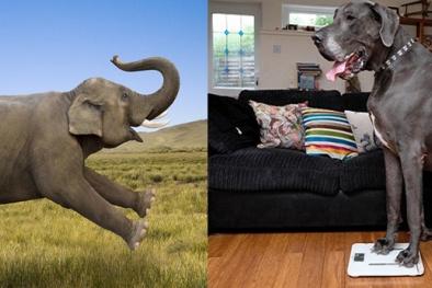 Chú chó dài hơn 2 mét, nặng ngang một con voi
