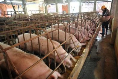 'Giải cứu' lợn thịt: Bộ Nông nghiệp cử người đi đàm phán xuất khẩu sang Trung Quốc