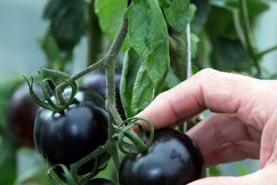 Trồng cà chua đen đơn giản tại nhà bằng hộp xốp nhanh ra trái