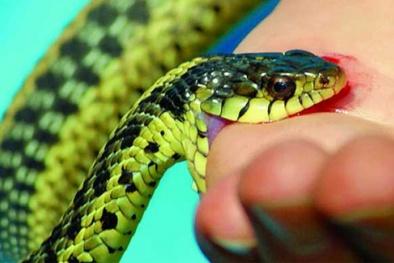 Rắn vào mùa sinh sôi, cảnh giác với nguy cơ rắn độc cắn
