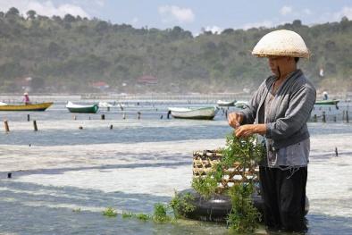 Nuôi trồng rong biển: Hướng đi phát triển thủy sản bền vững