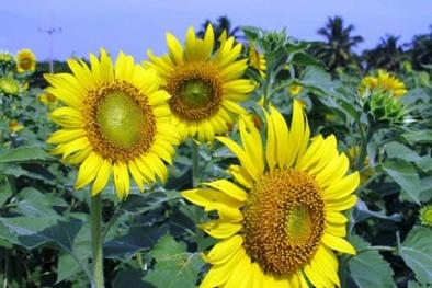 Cách trồng, chăm sóc và bảo quản hạt hướng dương chuẩn nhất