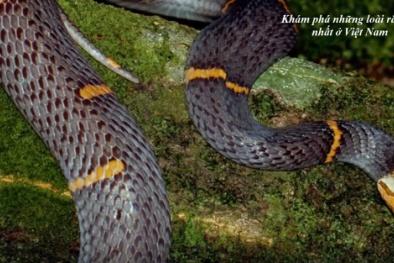 Bí ẩn những loại rắn nọc độc nhất có ở Việt Nam