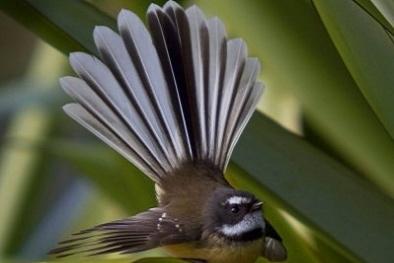 Kỹ thuật nuôi chim Rẻ quạt tinh nhanh và hót mê li