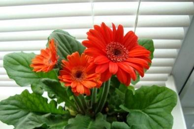 Cách trồng hoa đồng tiền lùn đơn giản cho không gian làm việc ngát hương