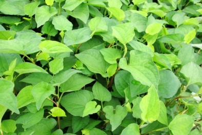 Làm mờ vết thâm từ các loại rau dân dã có nhiều ở vườn nhà bạn