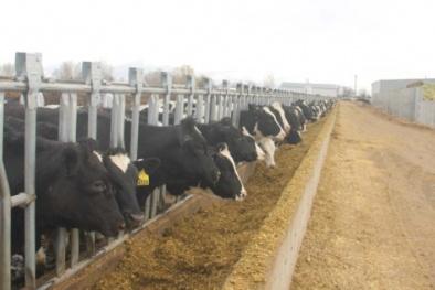 Vinamilk nhập khẩu 2.000 con bò sữa từ Mỹ