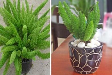 Kỹ thuật trồng cây Tùng đuôi chồn làm tiểu cảnh để bàn độc lạ