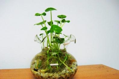 Kỹ thuật trồng rau má Nhật thủy sinh xanh mướt cho không gian trong lành