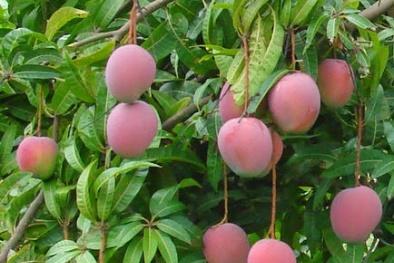 Kỹ thuật trồng Xoài tím cho quả sai trĩu cành, quả căng tròn thơm ngon