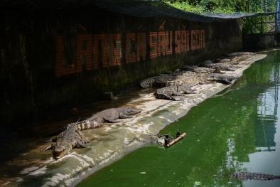 TP.HCM: Giá rớt thảm hại, hàng ngàn con cá sấu bị bỏ đói