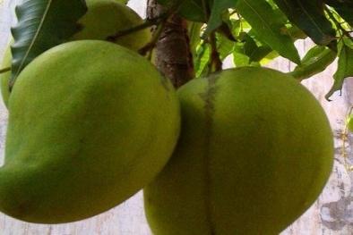 Kỹ thuật trồng xoài Tứ quý cho quả sai trĩu cành, quả to mọng