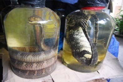 Mua bán rắn hổ mang chúa để ngâm rượu có thể bị xử lý hình sự