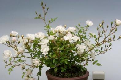 Kỹ thuật trồng cây hoa hồng bonsai độc, lạ thu tiền triệu mỗi cây