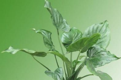 Kỹ thuật trồng cây tai Phật thanh lọc không khí và mang may mắn, an lành cho gia chủ