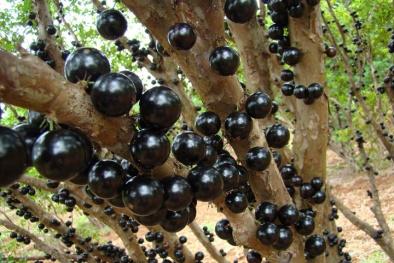 Kỹ thuật trồng cây nho thân gỗ cho quả sai từ gốc lên ngọn hái ra tiền