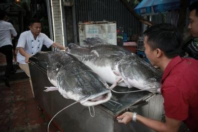 Cặp 'thủy quái sông Mê Kông' 300kg 'đi' máy báy về Hà Nội phục vụ đại gia