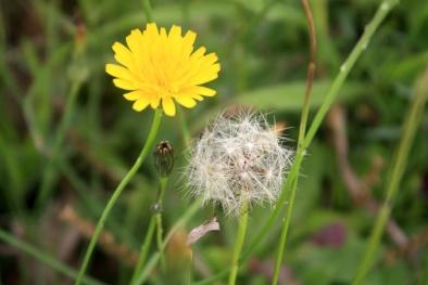 Chết mê với hoa Bồ công anh trong vườn nhà nhờ áp dụng kỹ thuật trồng đơn giản