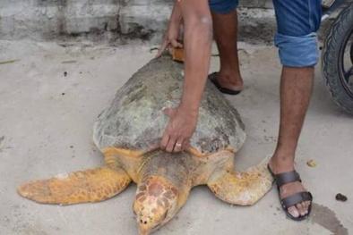 Rùa biển 'khủng' bơi vào bể nước nhà máy Nhiệt điện Vĩnh Tân 2