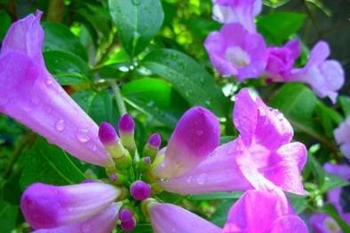 Kỹ thuật trồng cây hoa lan tỏi đẹp dịu dàng, tinh khiết và đuổi rắn hiệu quả