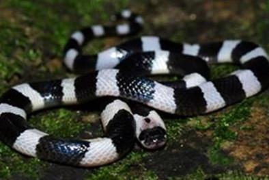 Đang ngủ bị rắn độc vào nhà cắn, người dân nên biết để tránh