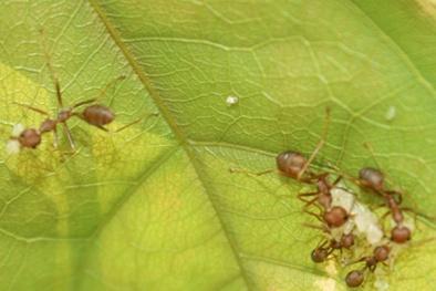Câu chuyện về ngôi làng nuôi... kiến vàng diệt sâu bệnh