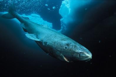 Bí ẩn gen 'sống thọ' của loài cá mập 400 tuổi có thể quyết định tương lai loài người