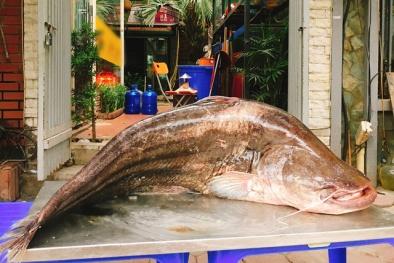 Hà Nội: Xuất hiện cá leo 'khủng' dài gần 2 mét, nặng 60 kg