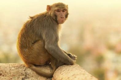 Óc khỉ: Món ăn man rợ và tàn độc bậc nhất trong lịch sử nhân loại