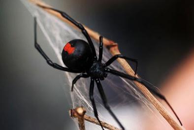 Cẩn trọng với vết cắn 'tử thần' từ các loài nhện xung quanh nhà