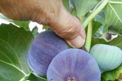 Kỹ thuật trồng cây sung Mỹ cho quả sai trĩu cành, thơm ngon khó cưỡng