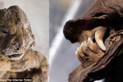 Bí ẩn xác ướp sư tử cách đây 12 000 năm còn nguyên da và lông