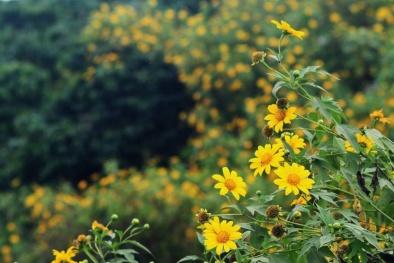 Ba Vì chuẩn bị vàng rực dã quỳ, các tín đồ du lịch lại một phen náo nức đi 'săn' hoa