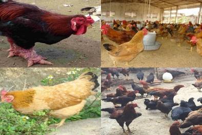 Chỉ còn hơn 4 tháng, nuôi giống gà gì cho kịp ăn Tết Nguyên Đán