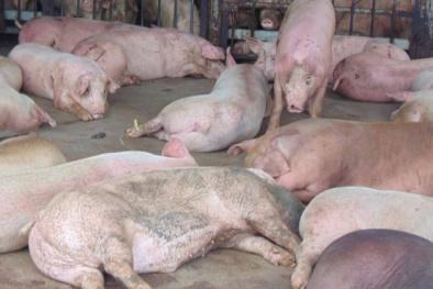 Tiếp tục phát hiện lợn bị 'dính' thuốc an thần 'đe dọa' sức khỏe người dùng
