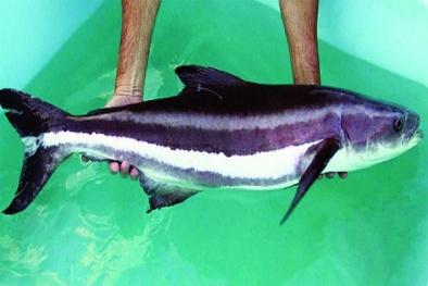 Kỹ thuật nuôi cá bớp thương phẩm bỏ vốn ít được giá cực cao