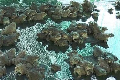 Giống ếch Thái Lan nuôi lãi cực khủng lại tiết kiệm chi phí