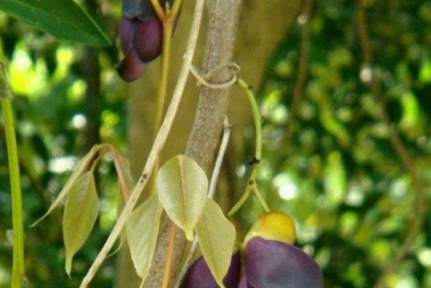Cây Huyết Long mang may mắn, thịnh vượng và sự quyền uy cho gia chủ trồng như thế nào?