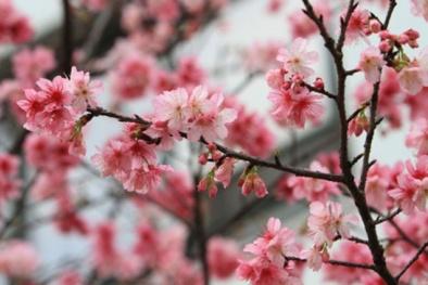 Kỹ thuật trồng hoa anh đào cho mọi nhà ngập tràn sắc Xuân, may mắn cả năm