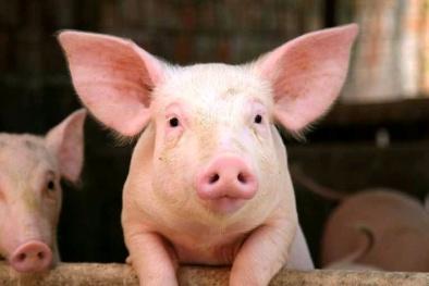 Giá cả thị trường hôm nay (17/11): Giá lợn hơi tăng nhẹ tại một số tỉnh miền Bắc