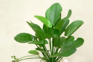 Cây Bách Thủy Tiên mang may mắn, thịnh vượng cho gia chủ, trồng cực dễ