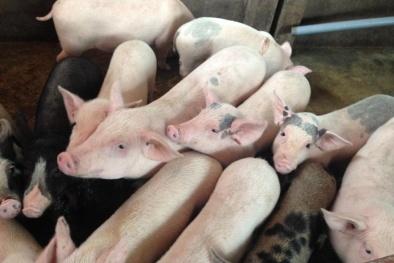 Giá cả thị trường hôm nay (30/11): Giá lợn hơi tại miền Bắc tăng nhẹ ở một số tỉnh